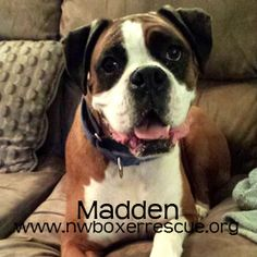 Madden is a handsome 7 year old boy being fostered in Marysville WA.  Find out more about him on our website -  www.nwboxerrescue.org or our Facebook page -  www.facebook.com/northwestboxerrescue