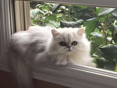 Persian Cat Shorthaired Shaded Silver Persia Shaded Silver Persian in a window. Looks like a cross between my Pixie and my beloved Kiwi (my first Shaded Silver Persian) - Cute Cats And Kittens, I Love Cats, Crazy Cats, Kittens Cutest, Pretty Cats, Beautiful Cats, Animals Beautiful, Cute Animals, Cat Online