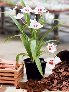 Ao plantar orquídeas acrescente ao substrato uma mistura de nó de pinho, carvão vegetal e cascas de madeira. Eles conservam a água no vaso por mais tempo. Em ambientes muito secos, acrescente um pouco de musgo. Troque o substrato a cada 2 anos, pois o mesmo entra em decomposição e pode comprometer a saúde da orquídea.  Fotografia: Photostile.  http://revistacasaejardim.globo.com/Casa-e-Jardim/Paisagismo/Plantas/Orquideas/noticia/2016/07/dicas-para-cuidar-das-orquideas.html