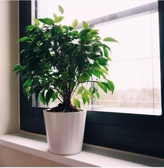 Weeping Fig (Ficus benjamina) | 15 Beautiful House Plants That Can Actually Purify Your Home