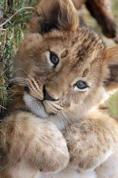 *Lion Cub (by Carolyn Kaufman)