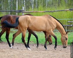 Akhal-teke horses for sale - Darsylu(Algyaz - Depesha)
