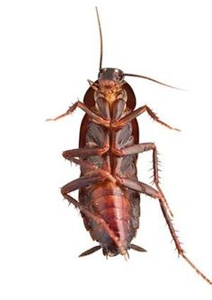 If you've had recent roach sightings, grab an effective insecticide or try some of these home-brewed tactics for getting rid of the pests. Here's how to get rid of cockroaches.