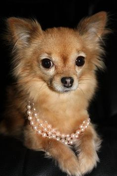 Jemma the Long-Haired Chihuahua: {Jemma} Pink Pearls.  I want one just like this cutie!  Prissy!