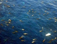 What looks like carps in a pond in this pic, are actually the biggest whale shark swarm documented by Nat Geo.