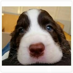 I love springers lil puppy face