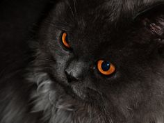 91 best cat wallpapers images black cats i love cats pretty cats