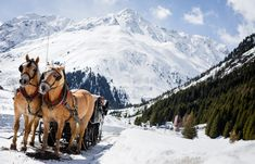 Be enchanted with the stunning beauty of Pitztal while a horse-drawn sleigh with Haflinger horses smoothly take you across the valley. Haflinger Horse, Tyrol Austria, Dashing Through The Snow, Horse Drawn, Winter Activities, Sled, Beautiful Horses, Explore, Mountains