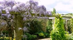 A beautiful Wisteria climbing over a pergola in the West Garden at Barrington Court, Somerset (National Trust) Barrington Court, Special Images, National Trust, Wisteria, Somerset, Climbing, Pergola, Around The Worlds, Places