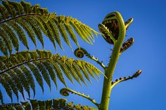 Tree ferns, old and new. Taken in Wellington, NZ.