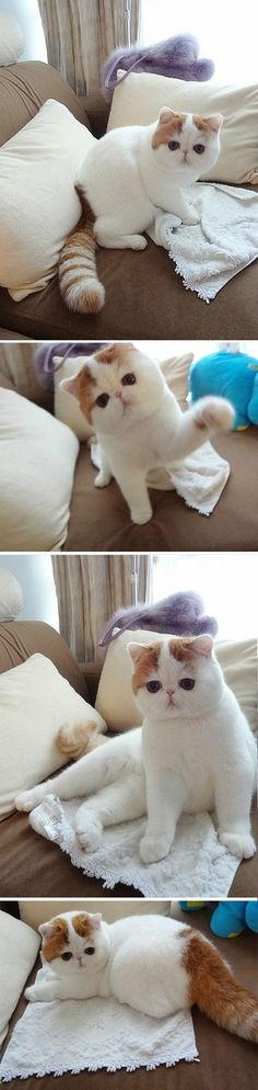 The now famous Exotic Shorthair named Snoopy makes an encore visit. Always the professional, this photo shoot went Purr-fectly! Animals And Pets, Baby Animals, Funny Animals, Cute Animals, Pretty Cats, Beautiful Cats, Animals Beautiful, Pretty Kitty, Crazy Cats