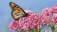 It may take a grassroots gardening effort to bring migrating monarch butterfly populations back from the brink of danger.