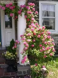 Image result for clematis and climbing rose