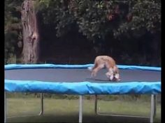 Awe~a fox playing on a trampoline! And it comes back again for more fun!
