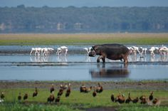 UNESCO-Weltnaturerbe iSimangaliso Wetlandpark / KwaZulu-Natal: Der Nationalpark, seit 1999 UNESCO-Weltnaturerbe, besteht aus vielen kleinen Schutzgebieten mit subtropischer bis tropischer Vegetation. In den Feuchtgebieten leben die größten Krokodil- und Flusspferdbestände Südafrikas.   #südafrika, #reise, #nationalpark, #safari, #tiere