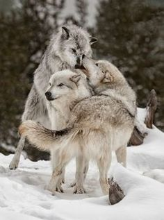 🐺If you Love Wolves, You Must Check The Link In Our Bio 🔥 Exclusive Wolf Related Products on Sale for a Limited Time Only! Wolf Photos, Wolf Pictures, Wolf Spirit, Spirit Animal, Beautiful Creatures, Animals Beautiful, Grand Chat, Funny Animals, Cute Animals