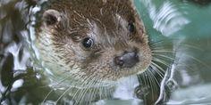 Otter closeup