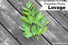 """Forgotten plants: once prolific in the kitchen gardens of our ancestors but now so rare that the average person might never even have heard of them. Many of these deserve to find space in our gardens again! I have grown lovage in my garden for the past several years. What started as an experiment of the """"I have no idea what this plant is but let's give it a try"""" variety has quickly become an important part of my kitchen garden."""