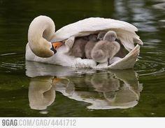 Swan mommy