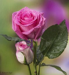 Beautiful Rose Flowers, Love Rose, Amazing Flowers, Flower Images, Flower Photos, Dream Garden, Dusty Rose, Plants, Pink