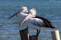 Australian+Pelican   Australian Pelicans