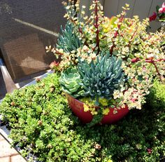 Here's a long-lasting, easy to water and look after combination of succulents that Ariemma's Garden Center on Staten Island created last summer. Just the thing for a sunny deck, patio, swimming pool surround or even a balcony. Thumbs up to Freddie and his team.