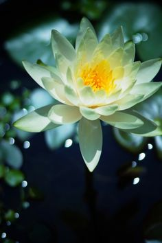 water lily 45 water lily with reflection white lotus. Black Bedroom Furniture Sets. Home Design Ideas