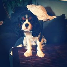 Winston the pup. #cavalierkingcharles #pup #ilovedogs #dogsofinstagram #puppy