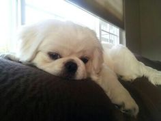 Pekingese puppy <3, dont worry about me im just lounging