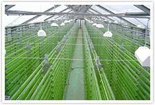Microalgae Photobioreactor  Spirulina  Spiruline