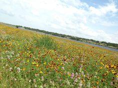 Wildflowers in Cedar Park at Brushy Creek Lake Park. #cedarparktx