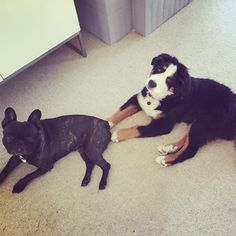 Bernese mountain dog french bulldog friends :) Dogs puppy pup cuties
