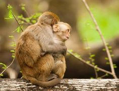 Mother and baby wild rhesus monkeys in a tree in Silver Springs, Florida. A large population of wild monkeys is sweeping across Florida after being introduced during the filming of the movie Tarzan. There are now estimated to be hundreds of rhesus monkeys roaming the state, all descended from three pairs released in the late 1930s.  Photograph: Graham McGeorge/Barcroft Media