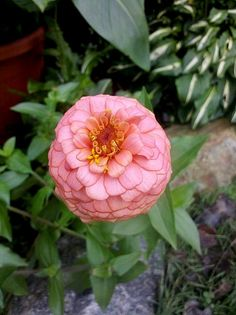 Zinnia #2, 4' tall, falls over and blooms fade quickly