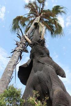 Photograph. Bull elephant feeding from Palm. Botswana