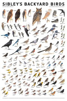 Sibleys Backyard Birds Western N. Pretty Birds, Love Birds, Beautiful Birds, Bird Identification, Bird Poster, Backyard Birds, Fauna, Wild Birds, Bird Prints