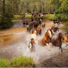 Wild Mustang Paint Stallion Leading His Herd of Mares Down Stream. <<< says previous pinner. Anyone else notice the cowboy on horseback to the right that's clearly doing the herding here lol. Yeah i wish i could herd some wild horse seams like fun All The Pretty Horses, Beautiful Horses, Animals Beautiful, Wilde Mustangs, Man From Snowy River, Majestic Horse, Horse Pictures, Horse Photography, Horse Love