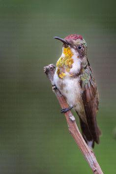 Colibri rubis-topaze - Chrysolampis mosquitus