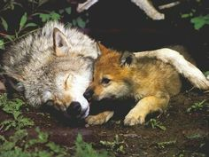 128 Best Wolves images in 2013 | Wolves, Wolf pictures