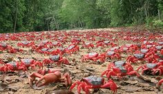 Land Crab Migration | Incredible Swarms That Are A Wonder to Behold