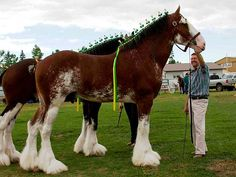 Canadian Clydesdales