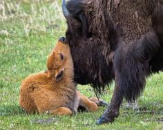 Help Give Bison Room to Roam Free