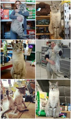 Andre the Giant (11 kg) is a store cat and helps other cats get adopted