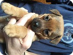 Memphis, MI - Australian Shepherd/Terrier (Unknown Type, Small) Mix. Meet Walker
