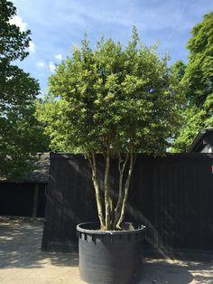 Quercus ilex - meerstammig - 400/450cm - solitair Garden Trees, Trees To Plant, Garden Pots, Outdoor Plants, Outdoor Gardens, Side Garden, Garden Pictures, Plantation, Front Yard Landscaping