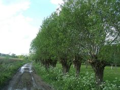 pollarded willows - Google Search