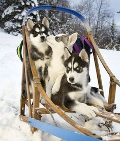 10 Cool Facts About Siberian Huskies - Dogs Tips & Advice | mom.me