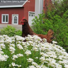 Tips for Selecting Chicken Breeds-The Breed I Need!