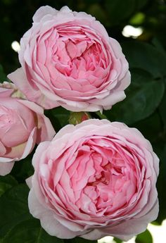 """Constance Spry - """"It has a strong myrrh fragrance and was the first English Rose to be introduced with this scent."""""""