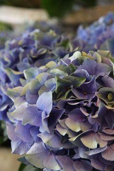 hydrangea Autumn blue